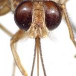 tsetse_head-proboscis